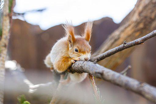 The Squirrel, Animal, Cute, Rodent, Nature, Hairy