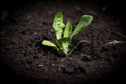 Lettuce Seedling, Salad, Garden, Green, Plant, Seedling