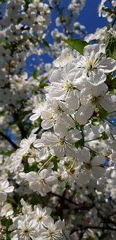 Spring, Cherry, Tree, Flower, White