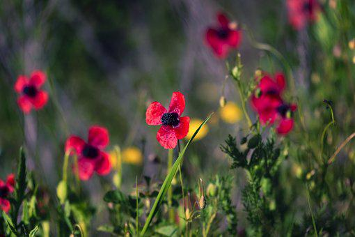 Poppies, Fields, Nature, Spring, Flowers, Bloom