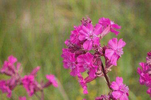 Flower, Tjærenellike, Stamen, Petals, Stem, Plant