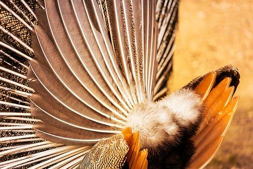 Animal, Peacock, Pattern, Texture, Plumage, Bird