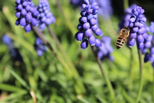 Muscari, Wasp, Flowers, Sprinkle, Insect, Nature, Plant