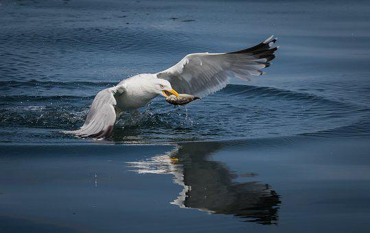 Seagull, Fish, Sea, Water, Nature, Fishing, Ocean
