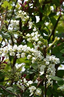 Flower, White Flowers, Branches Shrub Flower
