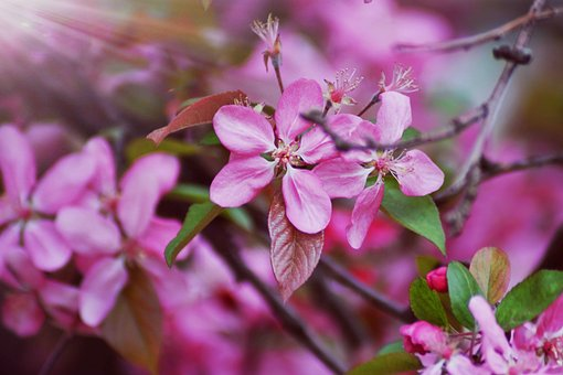Bloom, Summer, Cherry, Nature, Wood, Branch, Petals