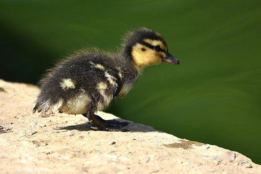 Duckling, Baby, Ducklings, Duck, Cute, Bird, Young