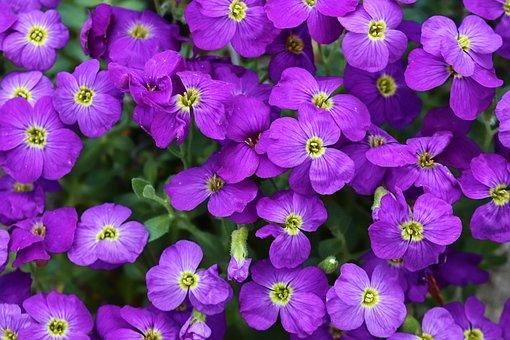 Blue Pillow, Aubrieta, Aubrietien Flowers, Violet