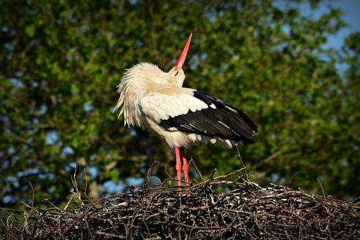 Stork, Bird, Animal, Plumage, Feather, Beak, Leg, Nest
