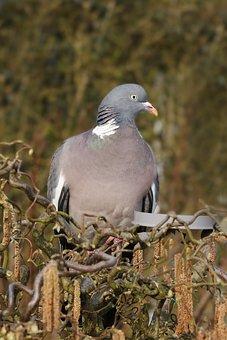 Dove, Wood Pigeon, Bird, Ornithology, Beak, Feather