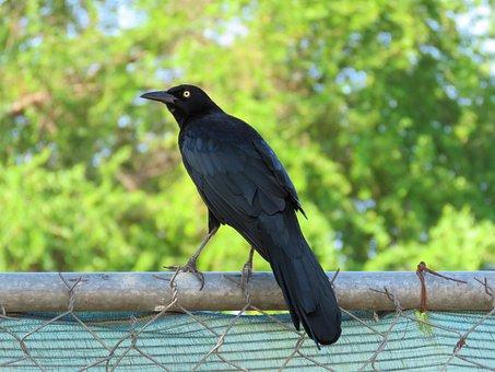 Blackbird, Bird, Black, Birding
