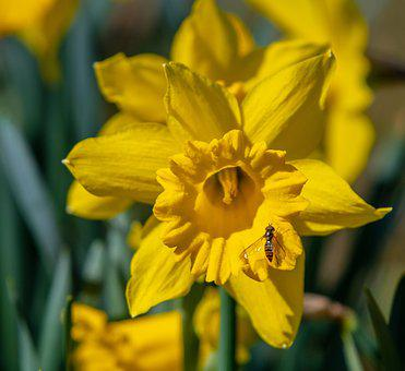 Daffodil, Flower, Narcissus, Blossom, Bloom, Yellow