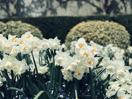 Daffodils, White, Spring, Flowers, Nature, Plant, Bloom