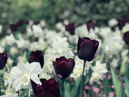 Daffodils, Flower, Tulips, Spring, Plant, Bloom