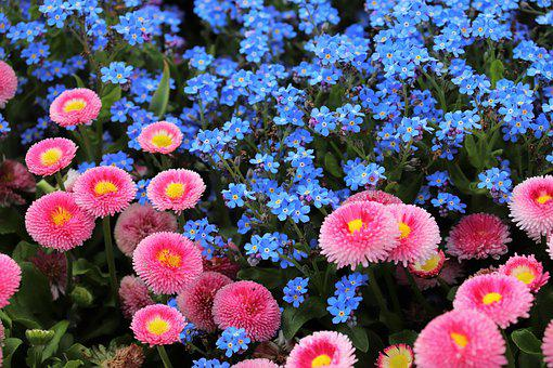 Pink Daisy, Bellis Perennis, Blue Aubrieta, Spring