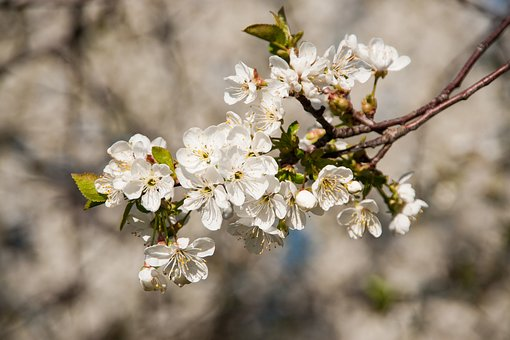 Cherry, Cherry Blossom, Branch, Spring, Tree