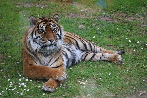 Tiger, Zoo, Predator, Nature, Cat, Carnivore, Mammals