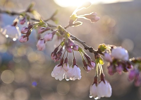 Cherry Blossoms, Morning, Bud, The Morning Dew