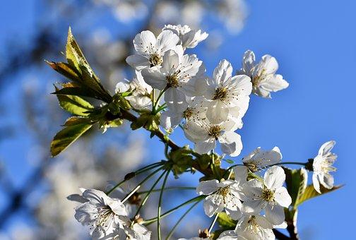 Ornamental Cherry, Cherry Blossoms, Flowering Twig
