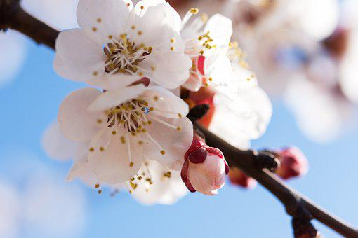 Nature, Flowers, Cherry, Spring, May, April, White