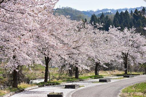 Natural, Landscape, Plant, Wood, Cherry Tree