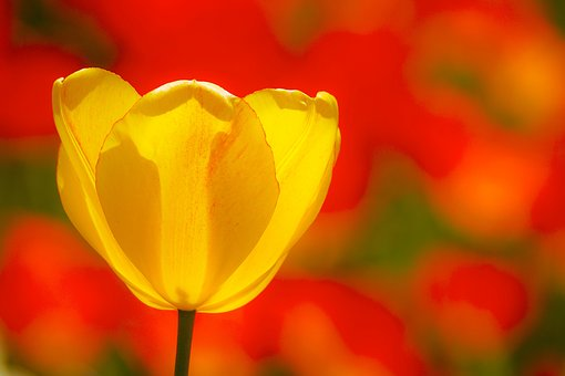 Tulips, Flowers, Spring, Spring Flowers, Yellow, Color