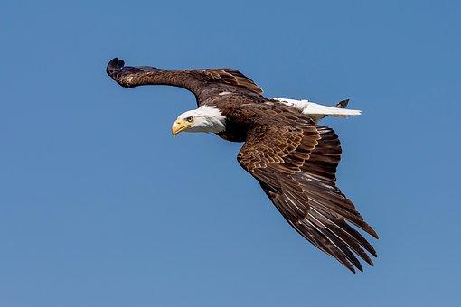 Bald Eagle, Adler, Landskron, Eagle Observatory, Raptor