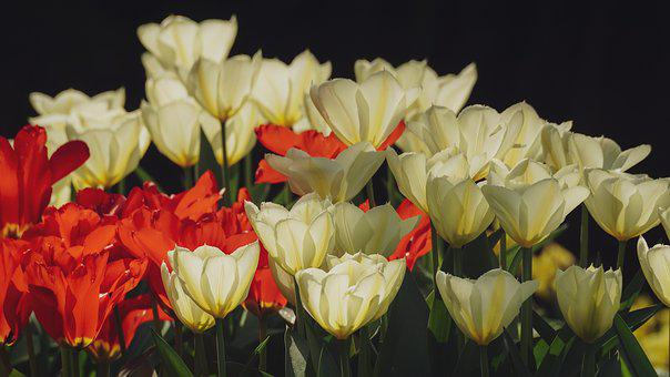 Tulips, Flowers, Spring, Nature, Red, Yellow, White