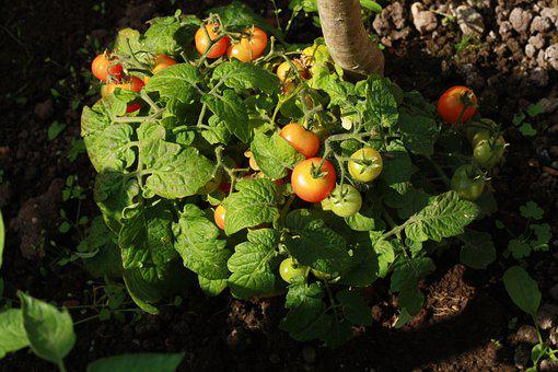 Tomato, Garden, Tomatoes, Food, Vegetables, Red, Green
