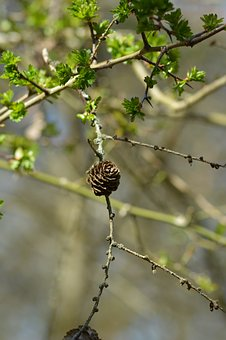 Artichoke, Pine Cone, Wood, Forest, Natural, Pine Cones