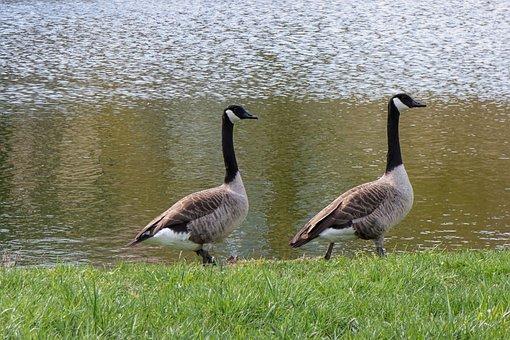 Geese, Canada Geese, Birds, Migratory Birds, Waterfowl