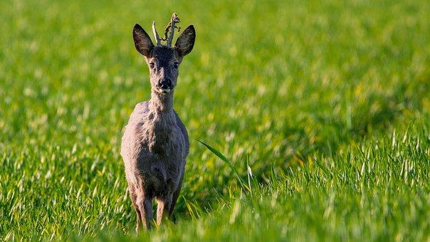 Hirsch, Forest, Antler Carrier, Fallow Deer, Red Deer
