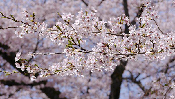 Cherry Blossoms, In Full Bloom, Japan, Spring, Flowers