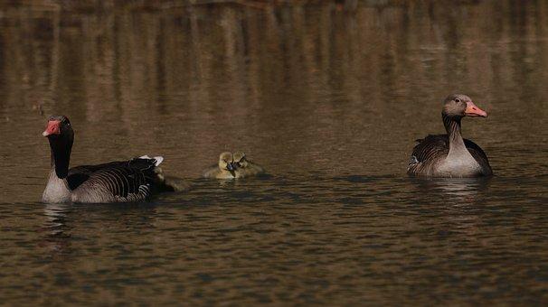 Lake, Spring, Nature, Cute, Waterfowl, Animals, Chicks