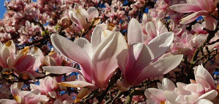 Magnolia, Magnolia Flowers, Blooming Twig, Spring