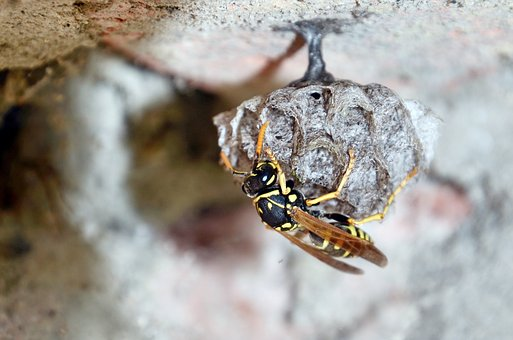 French Wasps, Mother Queen, Egg, Wasp, Sting, Secret