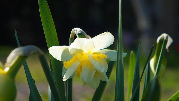 Nature, Plants, Flowers, Daffodil, Narcissus, Flowering