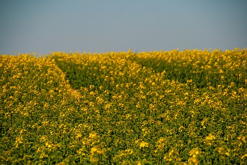 Natur, Yellow, Flowers, Field, Background, Textur