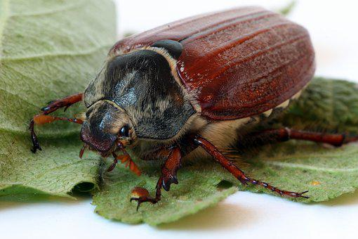 Maikäfer, Close Up, Insect, Beetle, May, Nature, Animal
