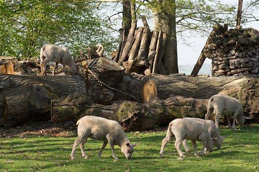 Lamb, Sheep, Breeding, Animals, Grass, Nature, Rural