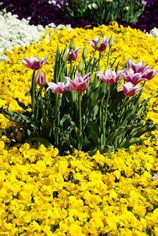 Lumen, Tulips, Summer, Tulip, Nature, Spring, Flowers