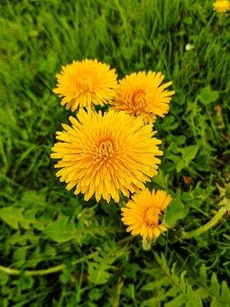 Dandelion, Yellow, Nature, Spring, Meadow, Garden