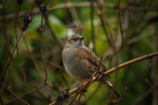 Sparrow, Bird, Nature, Starling, Animal