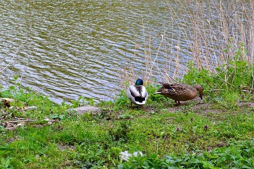 Ducks, Birds, Nature, Spring, Water, Meadow