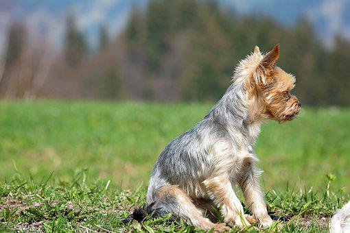 Yorki, Dog, Out, Nature, Sitting, Seat, Meadow, Grass