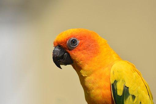 Sun Conure, Bird, Conure, Parrot, Tropical, Parakeet