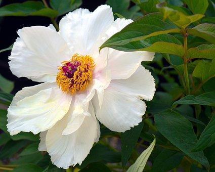 Peony, Shrub Peony, Tree Peony, Blossom, Bloom, White