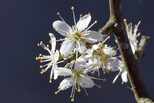 Flower, Shrub, Blackthorn, Natural, Petals