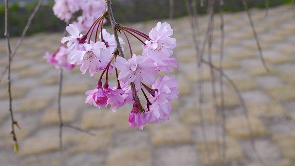 Cherry Blossoms, Arboretum, Plant, Natural, Pink