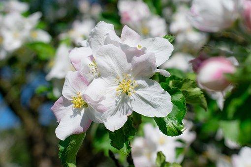 Pistil, Apple Tree Flowers, Blossom, Apple Blossom